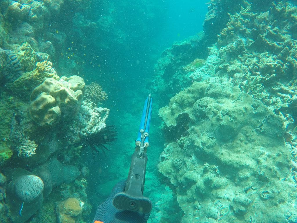 A spearfish amongst the coral