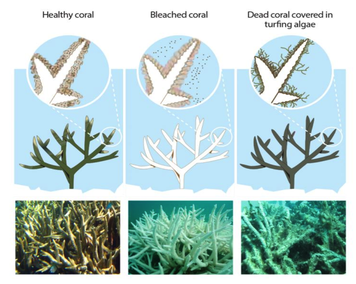 Healthy, bleached, and dead coral.